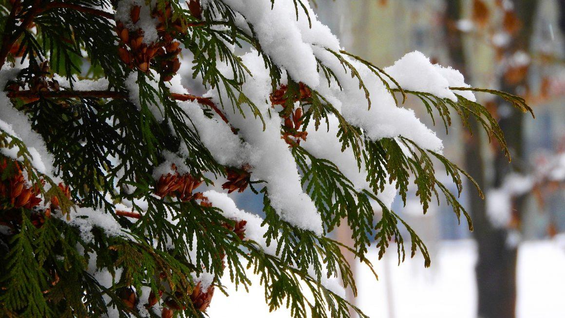 Jak zabezpieczyć tuje na zimę?
